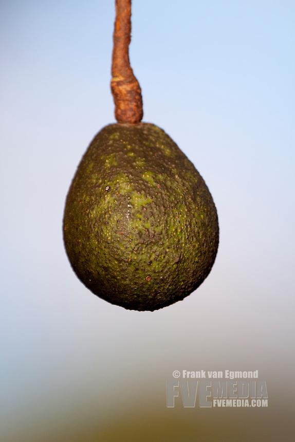 Avocado Pear (Persea Americana)..June 2009. Winter..Pinetown, Kwazulu-Natal, South Africa.