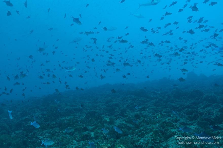 Miyaru Kandu, Alimatha Island, Felidhoo Atoll, Maldives; a large school of Redtooth Triggerfish swim over the rocky reef as several large Yellowfin Tuna swim past in the background