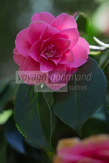Europe/France/Normandie/Basse-Normandie/50/Manche/  Vauville: Jardin Botanique de Vauville , Camellia sinensis // France, Manche, Cotentin, La Hague, Vauville: Vauville Castle Botanical Gardens, Camellia sinensis