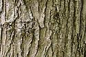 Wych Elm (Ulmus glabra) bark on a mature tree. Peak District National Park, Derbyshire, UK. May.