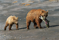 Female coastal brown bear with her one year old cub and a trophy size pink salmon catch.