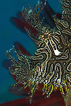 Lacey scorpionfish (Rhinopias aphanes) details