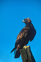 5210600033 a captive golden eagle aquila chrysaetos perches on a wooden fence post in central colorado this raptor is a falconers bird