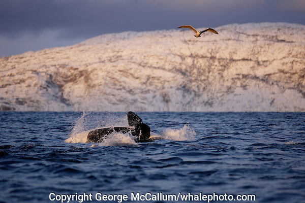 Killer whale backflip showing ventral side and pectoral fins Tysfjord, Arctic Norway