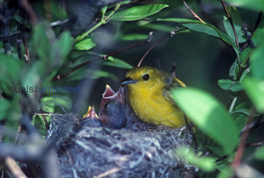 Yellow Warbler ,Dendroica petechia, feeding a Brown-headed Cowbird ,Molothrus ater, nestling in its nest, an example of social parasitism, Jamaica Bay Wildlife Refuge, Queens, New York, USA.