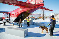 Dog drop handlers and Ryan Air employees load 72 dropped dogs into a CASA airplane at the Galena airport during the 2017 Iditarod on Friday afternoon March 10, 2017.<br /> <br /> Photo by Jeff Schultz/SchultzPhoto.com  (C) 2017  ALL RIGHTS RESERVED