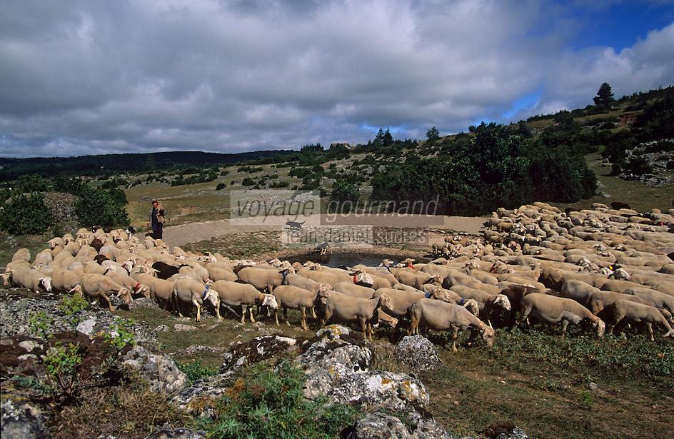 Europe/France/Midi-Pyrénées/12/Aveyron/La Couvertoirade : Cité templière du Larzac - Marc Montagnie et son troupeau de brebis se désaltérant à la mare de Lavogne
