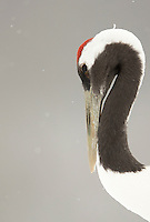Japanese Crane (Grus japonensis); Hokkiado, Japan, February 2015