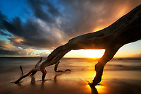 Driftwood tree with sunset. Wailea, Maui, Hawaii