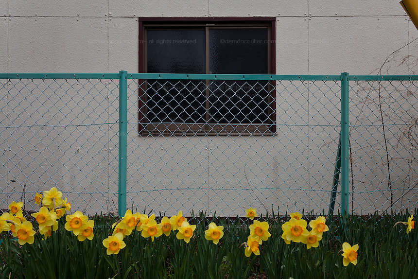 Daffodils outside an abandoned building in Katsurao in rural Fukushima, Japan, Wednesday May 1st 2013