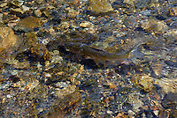 Freah water fish in a stream.