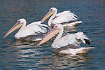 Eastern white pelican (Pelecanus onocrotalus), Walvis Bay, Namibia, Africa.