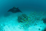 A parade of giant manta rays (Manta birostris) at a cleaning station with schooling yellowtail fusiliers (Caesio cuning). North Raja Ampat, West Papua, Indonesia