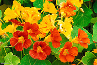 Nasturtium Flowers, Tropaeolum spp.<br /> Seattle, WA