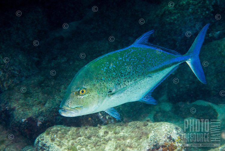 An underwater closeup of a bluefin trevally or omilu taken off the North Shore of O'ahu.