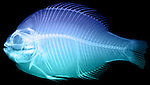X-ray image of a scup fish (blue on black) by Jim Wehtje, specialist in x-ray art and design images.