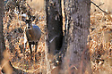 00275-194.03 White-tailed Deer (DIGITAL) doe is standing next to charred oak tree in old burn area during fall.  H3F1