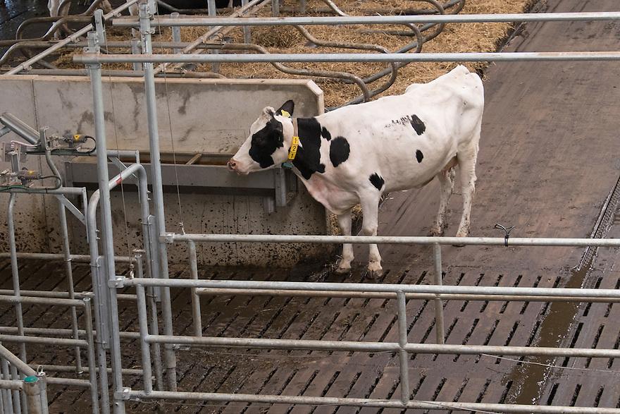 Nederland, Zwartsluis, 2 mei 2015<br /> Natuurboerderij Weidevol. Biologisch melkveebedrijf. <br /> Nieuwe moderne stal voor in de nacht. Overdag lopen de koeien buiten.<br /> <br /> Foto: Michiel Wijnbergh
