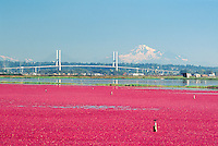 Richmond, BC, British Columbia, Canada - Harvesting Cranberries (Vaccinium macrocarpon) in Flooded Bog Field on Cranberry Farm - Mount Baker, Washington, USA in background