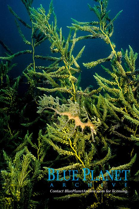 leafy sea dragon, Phycodurus eques, under a wharf in Spencer Gulf, South Australia