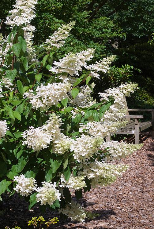 hydrangea paniculata 39 grandiflora plant flower stock. Black Bedroom Furniture Sets. Home Design Ideas