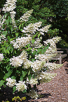 Hydrangea paniculata 'Grandiflora' in flower in the garden