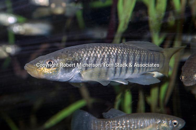 Striped Killifish male swimming left