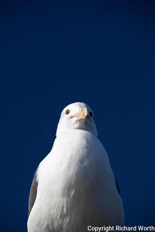 What Alfred Hitchcock might look like reincarnated as a gull.  This Western gull was photographed  observing visitors to the fishing pier at Seacliff State Beach.