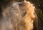 Namibia;  Namib Desert, Skeleton Coast,  desert elephant (Loxodonta africana) dusting