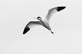 Avocets & Stilts - (Recurvirostridae)