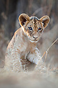 African Lion cub (Panthera leo)  - approx 3 months old - near the Luangwa River. South Luangwa National Park, Zambia.