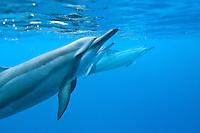 Hawaiian Spinner Dolphin; Stenella longirostris