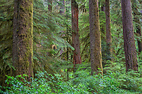 ORCAN_D140 - USA, Oregon, Willamette National Forest, Opal Creek Wilderness, Lush, old growth forest with large Douglas fir and western hemlock trees in spring.