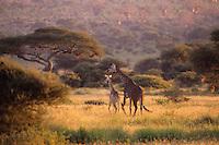Masai Giraffe (Giraffa camelopardalis) Africa.