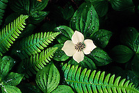 White petals of bunchberry are framed by delicate ferns just inches from the forest floor. The plant, a member of the dogwood family, is dotted with drops of water from a spring rain. The lush sanctuary of temperate rain forests in the valleys of Quinault, Queets and the Hoh, receive 12 to 14 feet of rain a year. Seldom does the temperature drop below freezing in the rain forest and summertime highs rarely exceed 80 F in Olympic National Park.