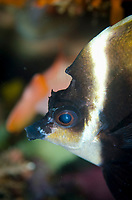 Humphead Bannerfish, Heniochus varius, Sebayor Point dive site, between Komodo and Flores Islands, Komodo National Park, Indonesia, Indian Ocean