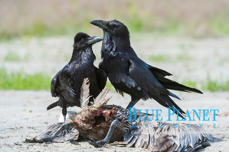 common raven, or northern raven, Corvus corax, scavenging on a pelican carcass, Baja California, Mexico
