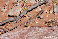 0616-1003  Great Basin Whiptail (Tiger Whiptail), Aspidoscelis tigris tigris © David Kuhn/Dwight Kuhn Photography