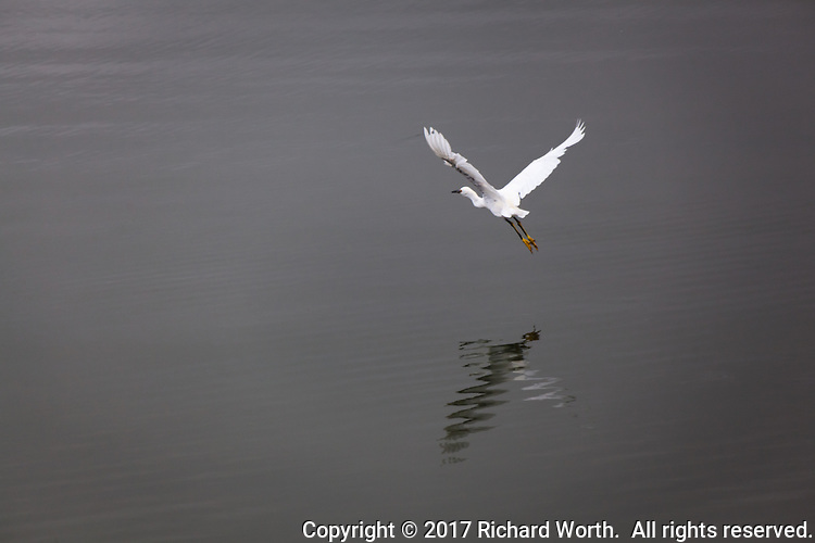 A Snowy egret takes flight, its bright yellow feet, its Golden Slippers, glowing behind.