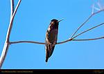 Anna's Hummingbird Male, Eyes Closed, Sepulveda Wildlife Refuge, Southern California