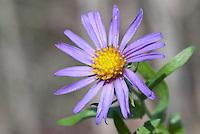 Aster oblongifolius 'Fanny's' aka more properly Symphyotrichum oblongifolium