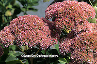 "63821-02808 Sedum spectabile, ""Autumn Joy""  flower Marion Co.   IL"
