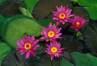 Purple water lilies (nymphaea)