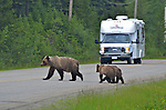 A grizzly with yearlings halts an recreational vehicle on a B.C. Highway.