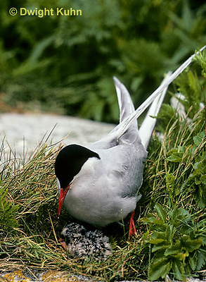 MC70-001z  Arctic Tern - adult at nest with chick, incubating - Machias Seal Island, Bay of Fundy - Sterna paradisaea