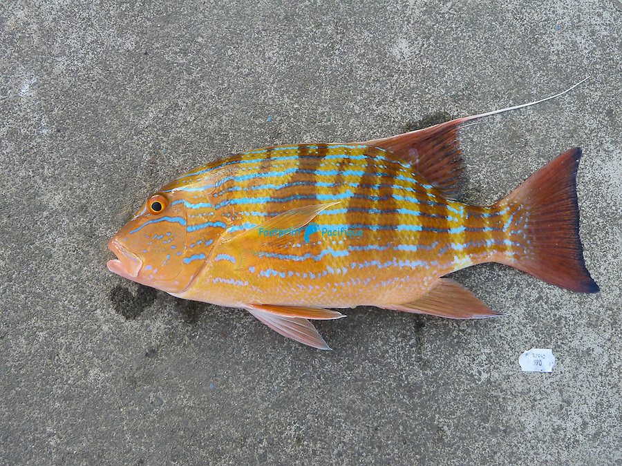 Chinaman fish, graphic