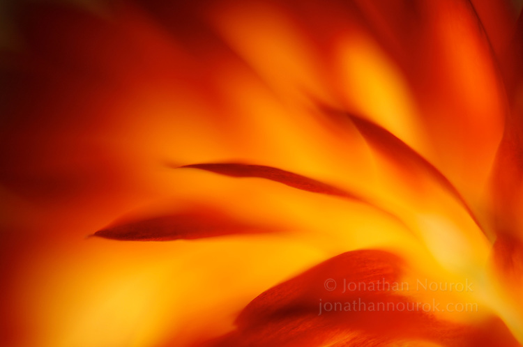 close-up of yellow/red strawflower petals