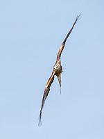 Milvus milvus<br /> <br /> Red kite banking in flight.
