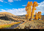 Rose Creek and Cottonwoods in Autumn, Lamar Buffalo Ranch, Lamar Valley, Yellowstone National Park, Wyoming