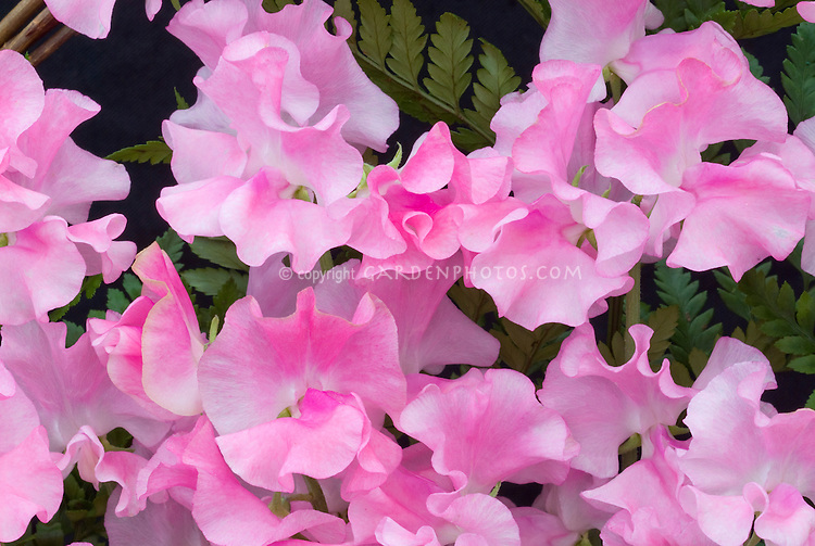 Lathyrus odoratus 'Banty' (pink, new release 2007) annual sweet pea flowers